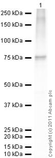 Western blot - Recombinant human Hsp70 protein (ab78427)