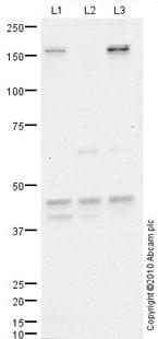 Western blot - Anti-GPCR GPR14 antibody (ab78449)