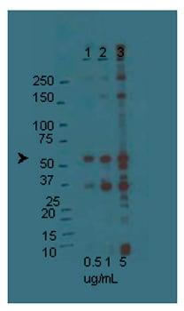 Western blot - Anti-Orai1 antibody (ab78471)