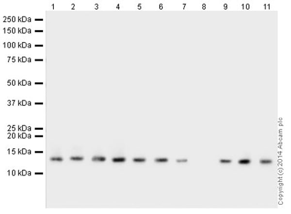 Western blot - Anti-Histone H4 (di methyl K20, tri methyl K20) antibody [6F8-D9] (ab78517)