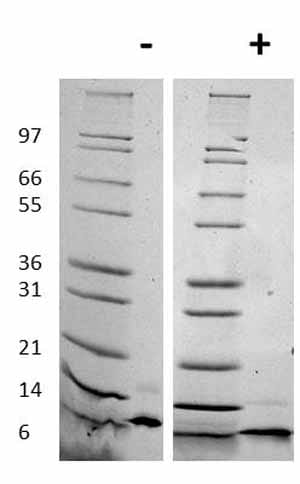 Western blot - Recombinant rat RANTES protein (ab78608)