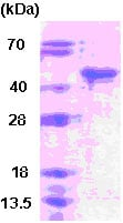 SDS-PAGE - Recombinant Human SIRT6 protein (ab78879)
