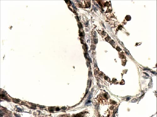 Immunohistochemistry (Formalin/PFA-fixed paraffin-embedded sections) - Anti-DUOX1 antibody (ab78919)