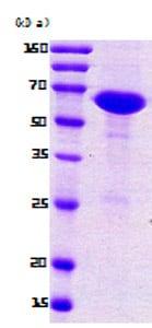 SDS-PAGE - Recombinant <em>E. coli </em> nusA protein (ab78932)