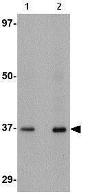 Western blot - Anti-AIPL1 antibody (ab79039)