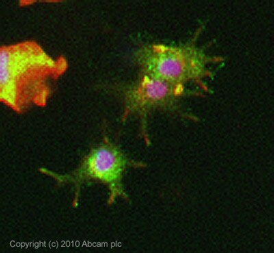 Immunocytochemistry/ Immunofluorescence - Anti-Neuronal membrane glycoprotein M6-a antibody (ab79128)
