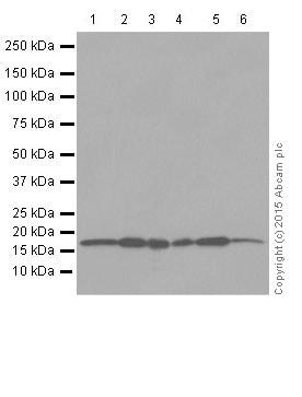 Western blot - Anti-Superoxide Dismutase 1 antibody [EPR1726] (ab79390)