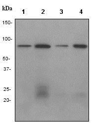 Western blot - Anti-Ku80 antibody [EPR3467] (ab79391)