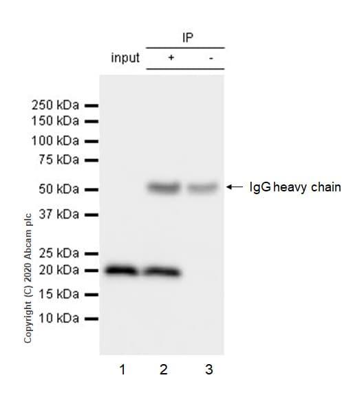 Immunoprecipitation - Anti-MTCO2 antibody [EPR3314] (ab79393)