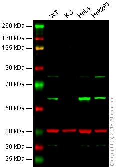 Western blot - Anti-PDCD4 antibody [EPR3432] (ab79405)