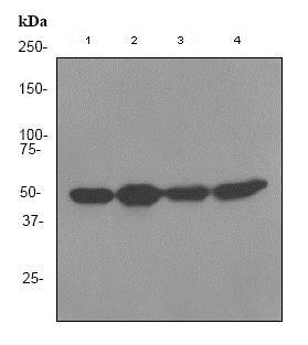 Western blot - Anti-RbAp48 antibody [EPR3411] (ab79416)