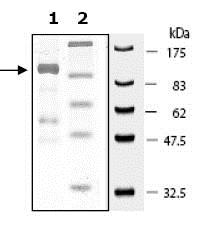 SDS-PAGE - Recombinant human PARP6 protein (ab79640)