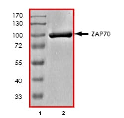 SDS-PAGE - Recombinant human ZAP70 protein (ab79644)