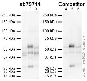 Western blot - Anti-Adenosine Receptor A2a antibody [7F6-G5-A2] (ab79714)