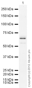 Western blot - Recombinant human PARP11 protein (ab79742)
