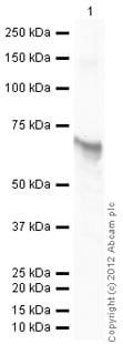 Western blot - Recombinant human AKT1 protein (ab79792)