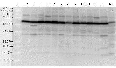 Western blot - Anti-Hsp70 antibody (ab79852)