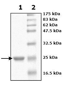 SDS-PAGE - Recombinant human Peroxiredoxin 2/PRP protein (ab79947)