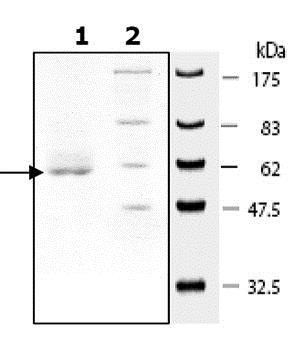 SDS-PAGE - Recombinant Human SIRT4 protein (ab79949)