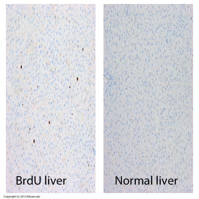 Immunohistochemistry (Formalin/PFA-fixed paraffin-embedded sections) - Anti-BrdU antibody [MoBu-1] (ab8039)