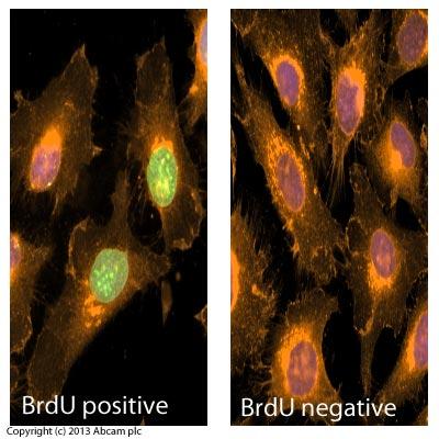 Immunocytochemistry/ Immunofluorescence - Anti-BrdU antibody [MoBu-1] (ab8039)