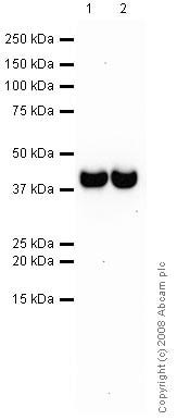 Western blot - Anti-Synaptophysin antibody [SY38] (ab8049)