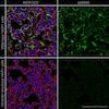Immunocytochemistry/ Immunofluorescence - Anti-Vimentin antibody [V9] - Cytoskeleton Marker (ab8069)