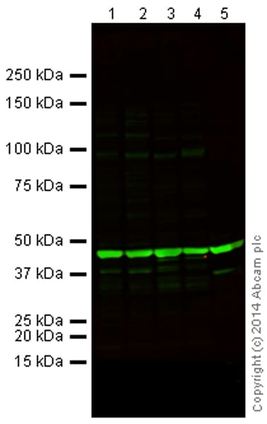 Western blot - Anti-beta Actin antibody [mAbcam 8224] - Loading Control (ab8224)