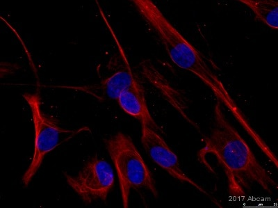Immunocytochemistry/ Immunofluorescence - Anti-beta Actin antibody [mAbcam 8224] - Loading Control (ab8224)