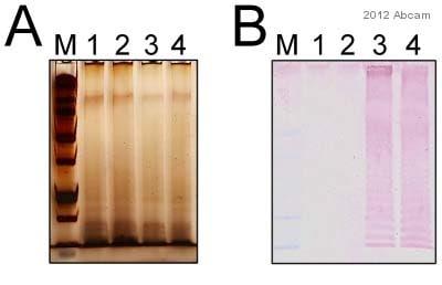 Western blot - Anti-Salmonella typhimurium LPS antibody [1E6] (ab8274)