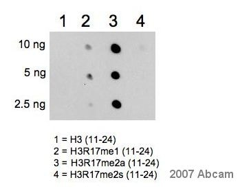 Dot Blot - Anti-Histone H3 (asymmetric di methyl R17) antibody (ab8284)