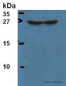 Western blot - Anti-Hsp27 antibody [B317] (ab8600)
