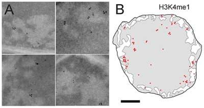 电子显微镜-抗组蛋白H3(单甲基K4)抗体-芯片级(AB8895)