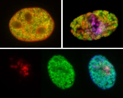 免疫细胞化学/免疫荧光-抗组蛋白H3(单甲基K4)抗体-芯片级(AB8895)
