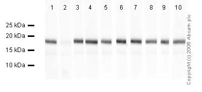 Western blot - Anti-Histone H3 (mono methyl K9) antibody - ChIP Grade (ab8896)