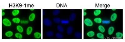 Immunocytochemistry/ Immunofluorescence - Anti-Histone H3 (mono methyl K9) antibody - ChIP Grade (ab8896)