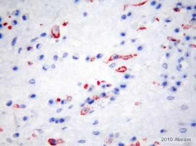 Immunohistochemistry (Resin sections) - Anti-Mannose Receptor antibody [15-2] (ab8918)