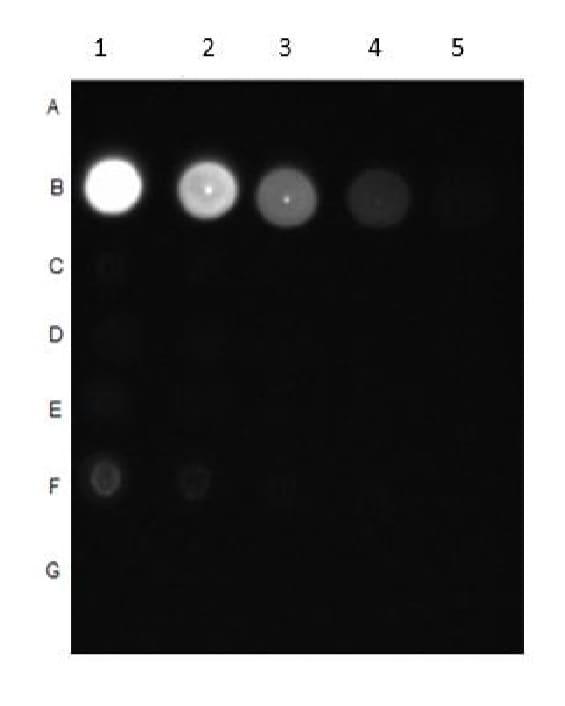 Dot Blot - Anti-pan-AKT (phospho T308) antibody (ab8933)