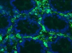 Immunohistochemistry (Frozen sections) - Anti-Vimentin antibody [RV203] (ab8979)