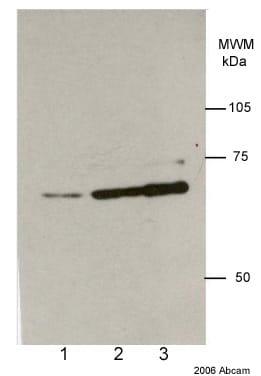 Western blot - Anti-Lamin A + Lamin C antibody [131C3] - Nuclear Envelope Marker (ab8984)