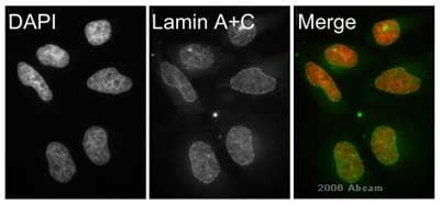 Immunocytochemistry/ Immunofluorescence - Anti-Lamin A + Lamin C antibody [131C3] - Nuclear Envelope Marker (ab8984)