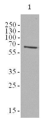 Western blot - Anti-AMPK alpha 1 + AMPK alpha 2 antibody [34.2] (ab80039)