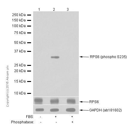 Western blot - Anti-RPS6 (phospho S235) antibody [EP1338(2)Y] - Ribosome Marker (ab80158)