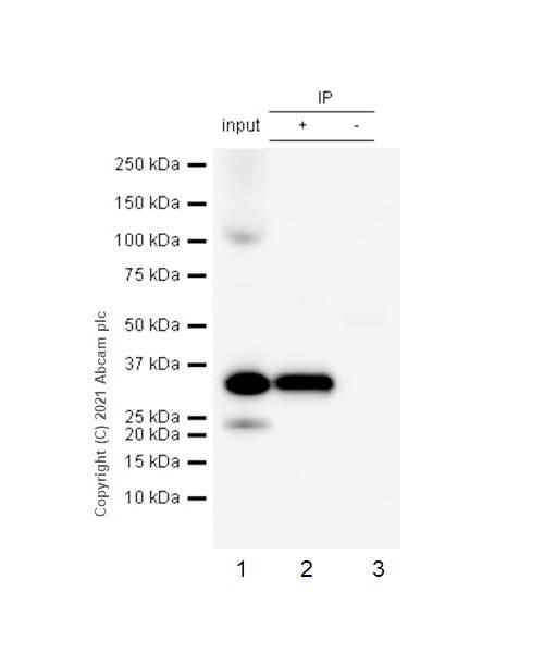 Immunoprecipitation - Anti-RPS6 (phospho S235) antibody [EP1338(2)Y] - Ribosome Marker (ab80158)