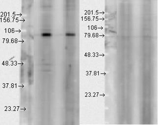 Western blot - Anti-Hsp90 beta antibody (ab80159)