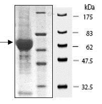 SDS-PAGE - Recombinant human Insulin Receptor protein (ab80251)
