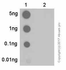 Dot Blot - Anti-Nephrin (phospho Y1217) antibody [EPTPG3] (ab80298)