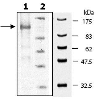 SDS-PAGE - Recombinant mouse PDE5A/PDE5 protein (ab80330)