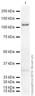 Western blot - Recombinant human PDE4D3 protein (ab80332)