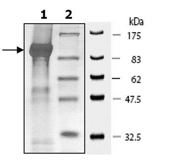 SDS-PAGE - Recombinant human PDE4D3 protein (ab80332)